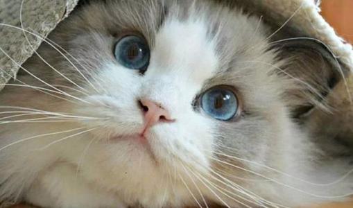 养布偶猫的坏处图片