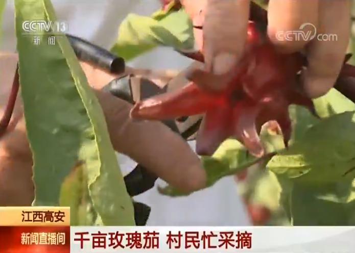 【庆国庆 迎丰盈】江西高安:千亩玫瑰茄 乡民忙采摘