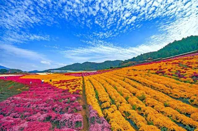 <b>阳光正好,微风不燥,千万朵菊花恣意绽放等你来打卡!</b>