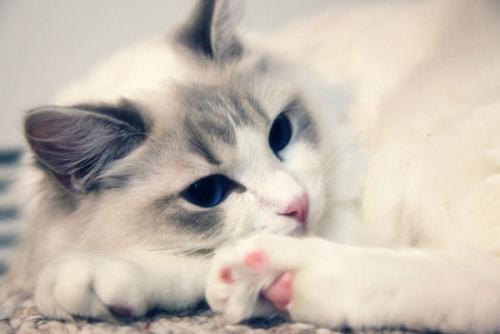 布偶猫吃什么猫粮最好图片