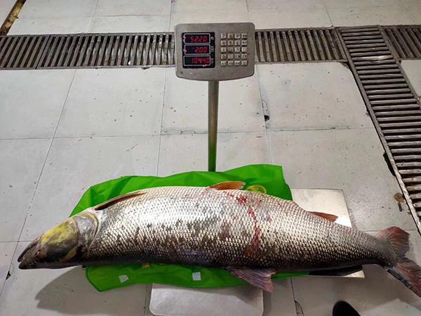 <b>30年首见!丹江口水库捕到重104斤的鱤鱼!</b>