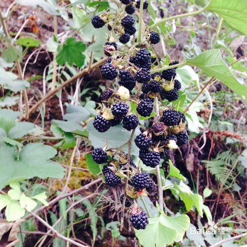 山里娃曾当零食的甜泡,学名川莓,很多人没见过,你吃过吗?