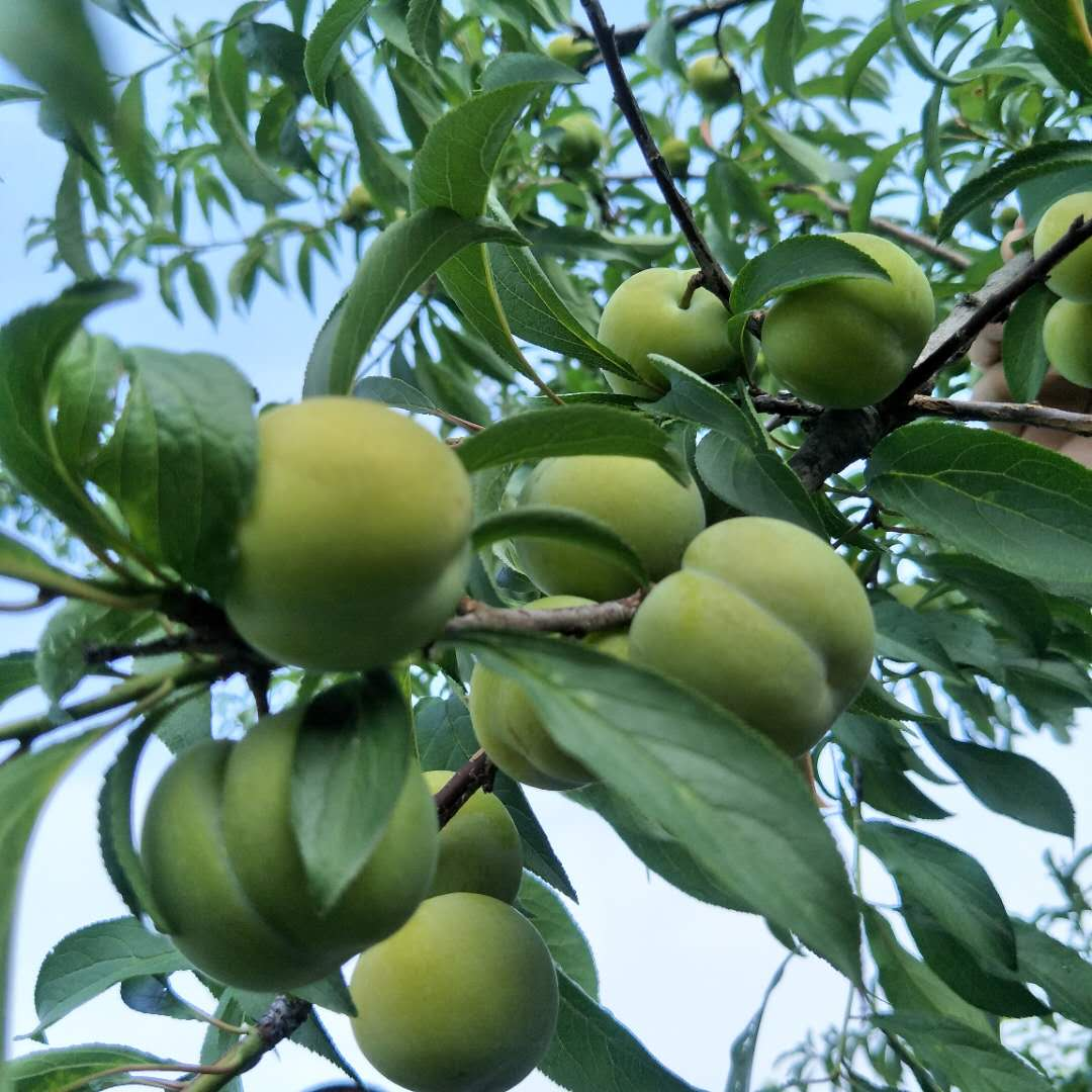 李子树的栽培技术与管理