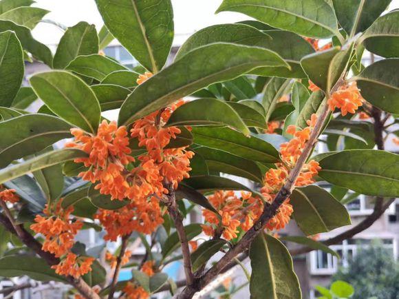养这3种盆栽,花香四溢漂九里,秋天种春天开,邻居看了都羡慕:花香盆栽
