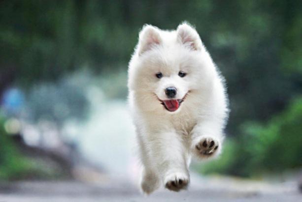 全球10大高颜值的狗狗,萨摩耶居榜首,博美排第二,你养了吗