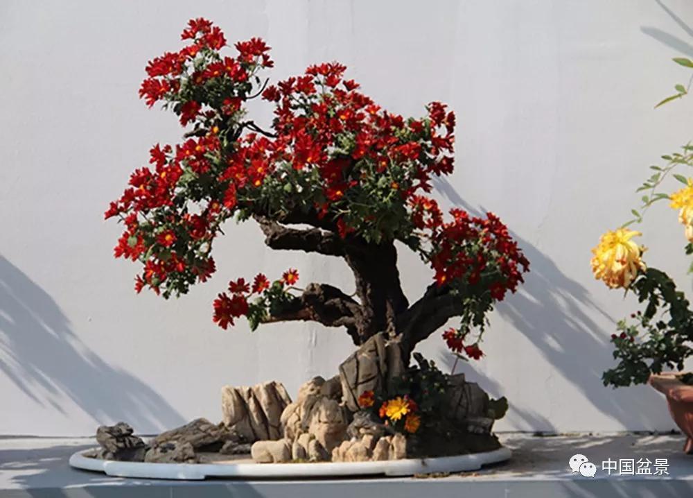赏菊花,重阳节安康!