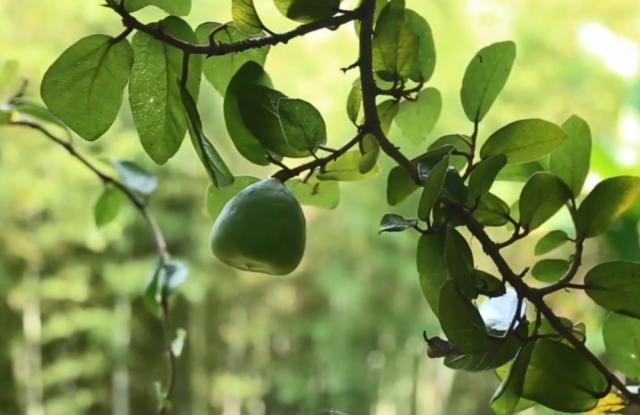 """公母_农村这种野果分公母,人们只挑母的果子摘,做成""""果冻""""很美味"""