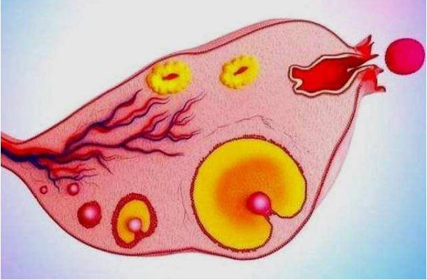 【女人一生能排多少个卵子?共有多少次受孕机会?】 女人一生有多少个