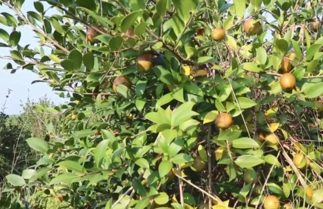 农村这种果子长得像枣,剥开却没果肉,但用榨油一斤能卖70块钱:像枣一