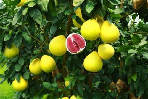 <b>往年5块钱一斤,今年5块钱一个,柚子价格不足以往五分之一,为何</b>