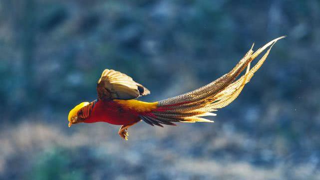 神鸟凤凰并没有消失,而是进化成袖珍的模样,还在我国生存至今!