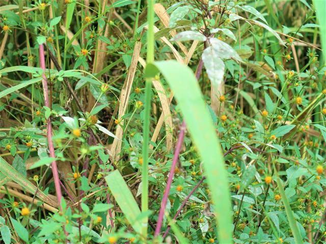 """[农村有一种像蟹钳的野草,名字叫做""""鬼针草"""",市场售价10元一斤]蟹钳"""