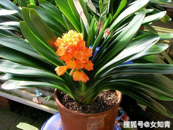 [君子兰开花了,应该如何保养,让花朵更加鲜艳]君子兰花朵特点