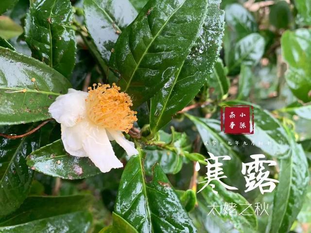 它是秋白茶里,产量最低的。比春白茶里的白毫银针,产量还低
