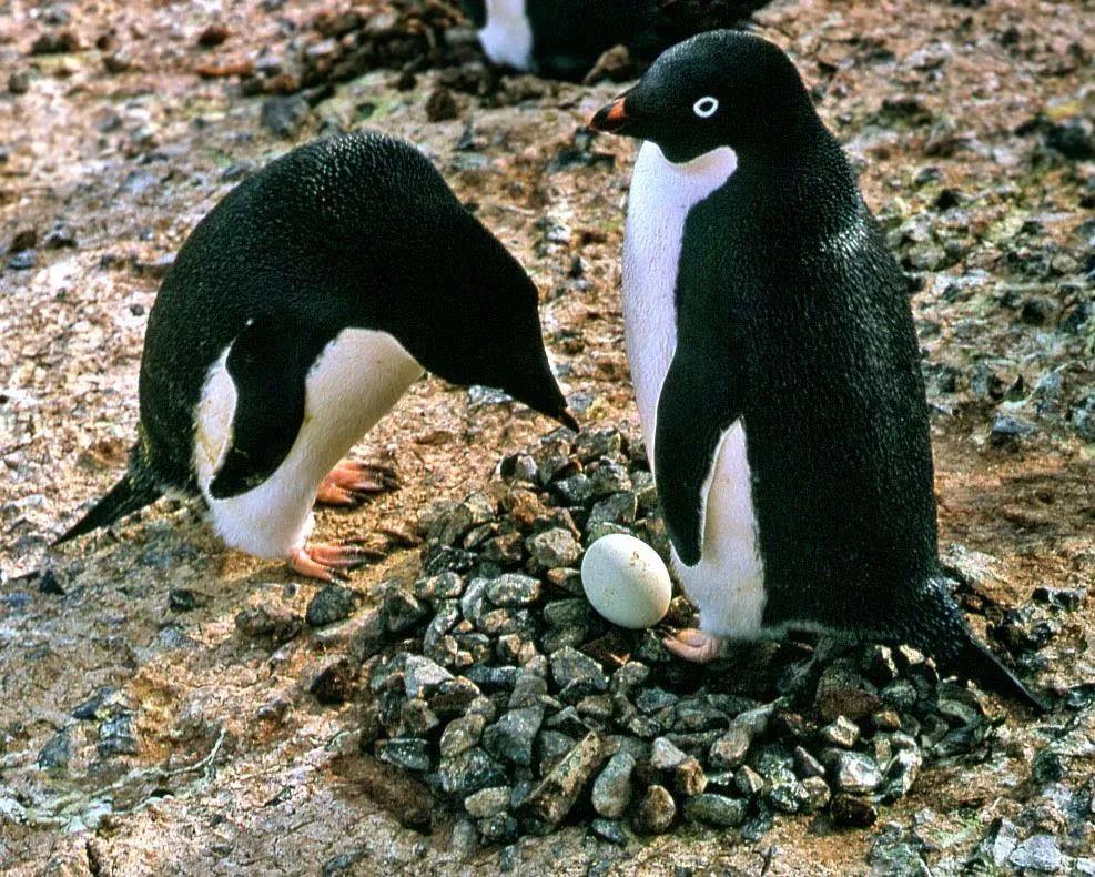 企鹅根本不是啥好鹅! 又污又婊又混乱,才是它的真面目!