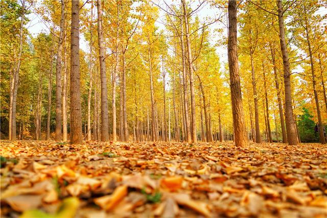 原创             山东莱州隐藏一个中国最美的秋天,380亩银杏林美爆了却不收门票