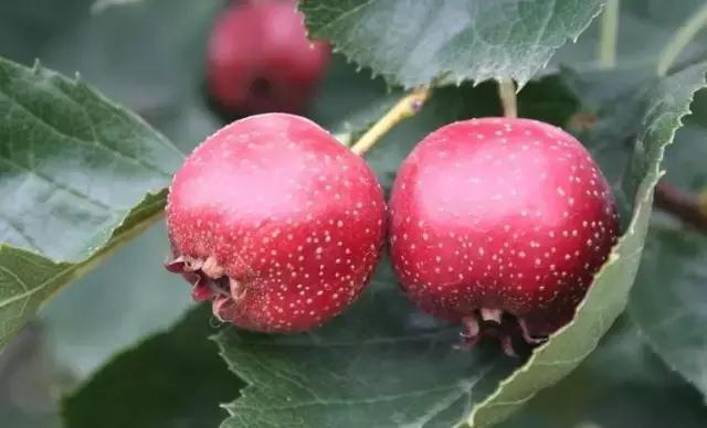 秋天给孩子吃这5种生果胜过补品,缓解秋燥,孩子抵抗力强不患病
