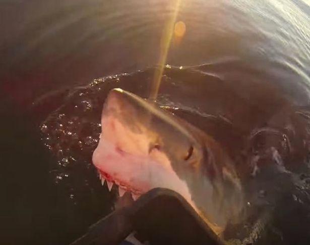 澳大利亚一大白鲨跟随渔船 冲出水面进犯渔民
