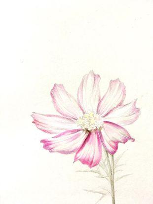 画友绘 花卉教程 初春的花海之王 格桑花