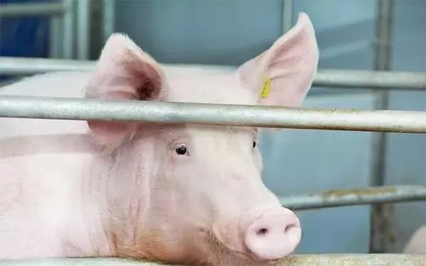 人口蹄疫_天气日渐转冷,口蹄疫防控养猪人一定要重视(3)