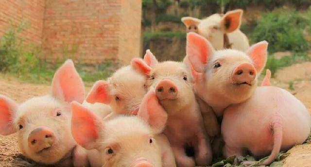 原创             新一轮猪价开始上涨,你觉得会涨到多少?