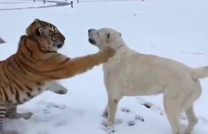 原创 还记得这只狗狗吗?曾被老虎舔得不敢动,狗子其实并不怕它