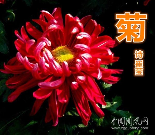 菊(詩 崔瑩)