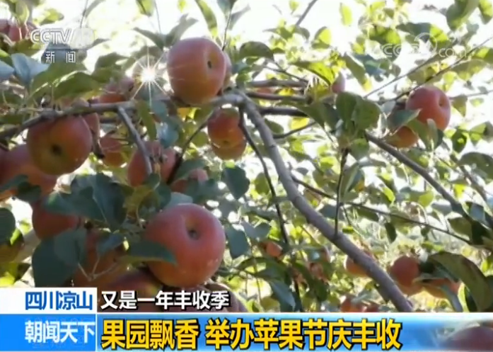 【又是一年豐收季】四川涼山:果園飄香 舉辦蘋果節慶豐收