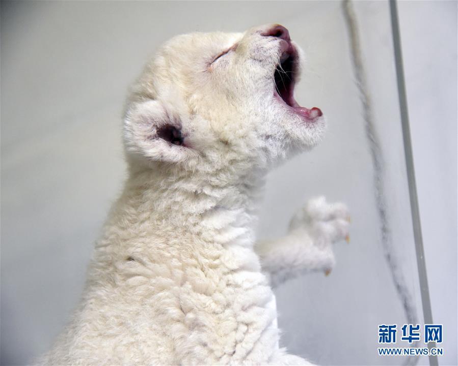 """济南""""龙凤胎""""白狮出生 珍稀又可爱(组图)"""