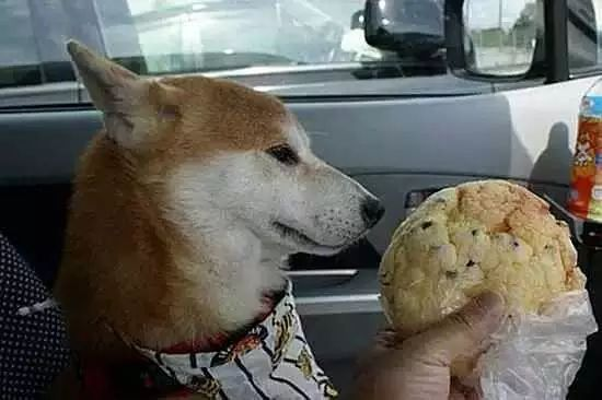 明明很想吃,却要做出漠视的表情,狗狗快被主人折磨疯了!