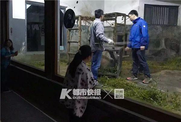 杭州网红熊猫凌晨回家,现场有人哭了,下一次看到熊猫要等一年