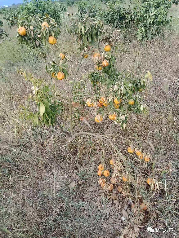 分宜:百亩新余蜜桔喜获丰收