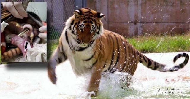 网赌被黑不过提款有什么办法_原创 承受了7年痛苦之后,印度9岁雄虎将成为世界第一只拥有假肢的老虎
