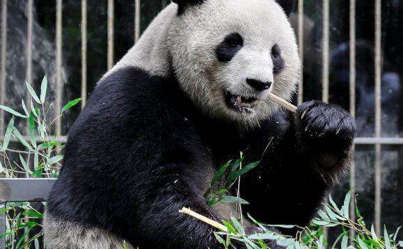 可爱!2020版熊猫金币图案曝光 网友:集齐一套能兑换大熊猫嘛?