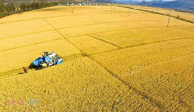 今年琿春市水稻播種面積約8788公頃 預計將在11月中旬完成收割