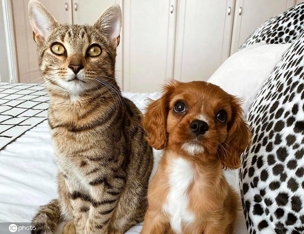 """英国豹猫和骑士犬玩成了""""好姐妹"""" 腻在一起不分开"""