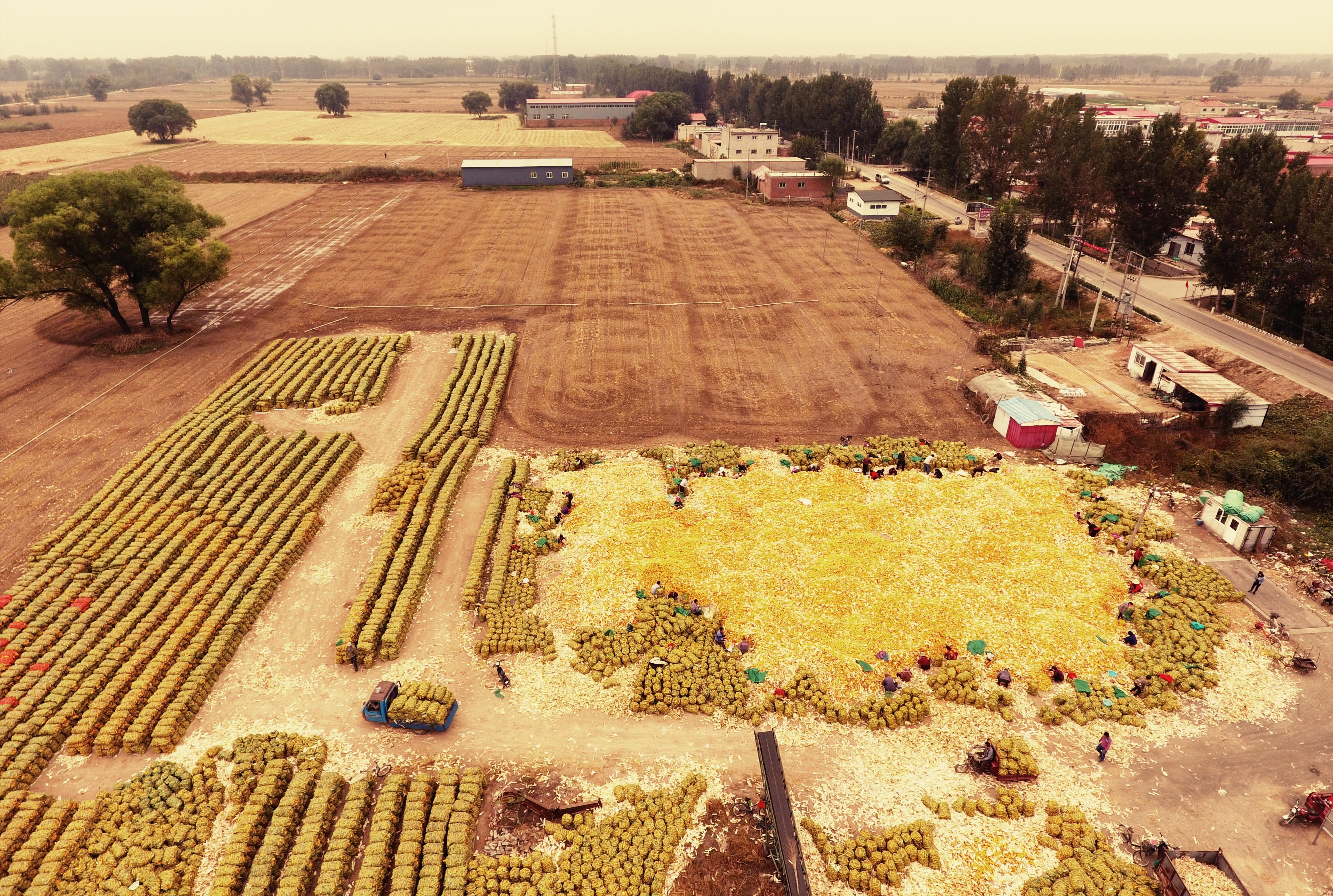 保定丰收图景,田间地头一片金灿灿的玉米