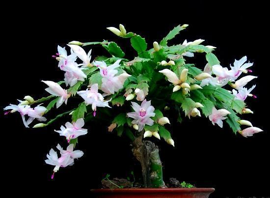 绿萝叶子绿的出油,君子兰年年开花,原来花盆里面埋了它