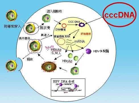 抗病毒治疗方案e抗原