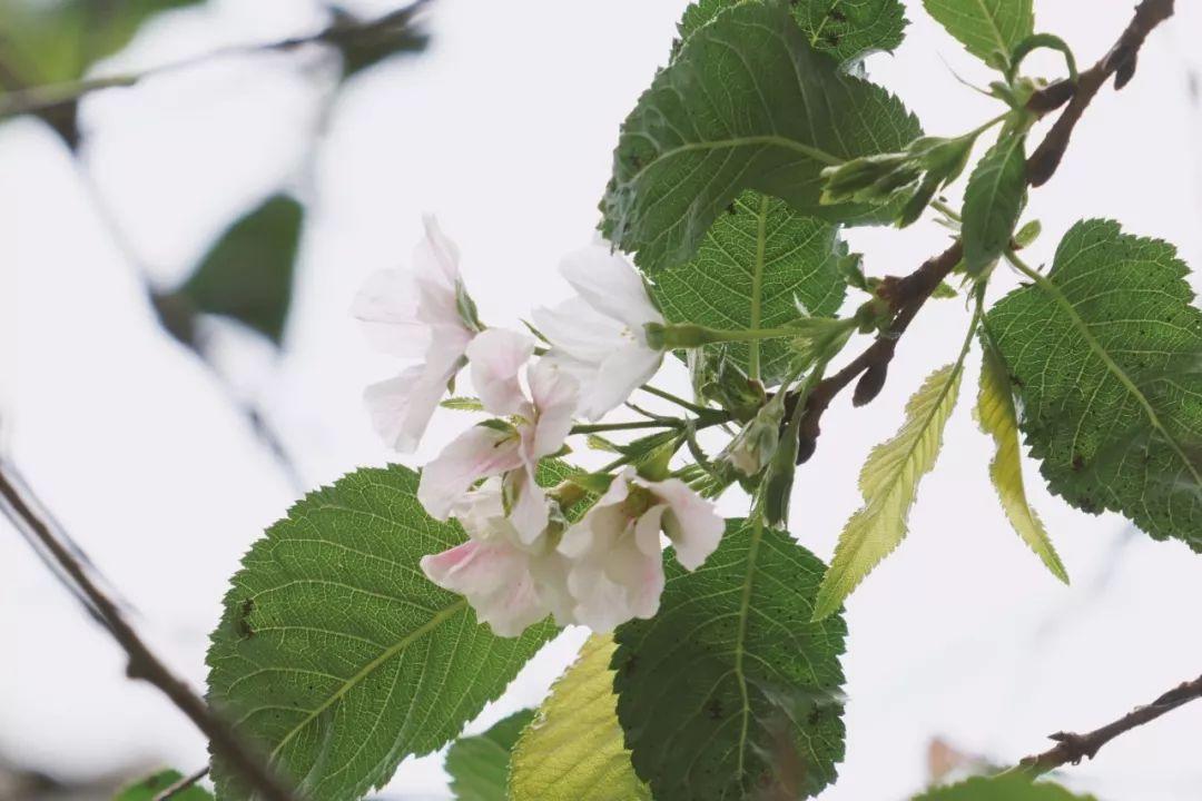 【围观】罕见!武大樱花十月开了,被天气搞晕真相是...