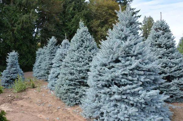 选对树种,沙漠里也能种出漂亮的景观树