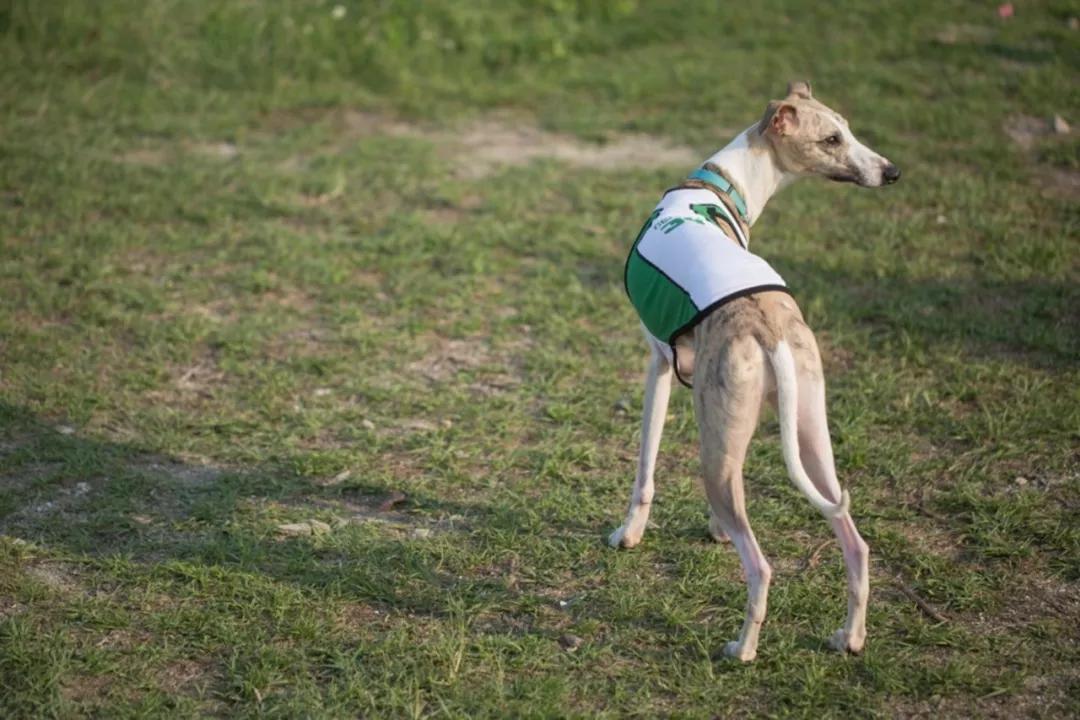 原创            狗狗腿根骨折落败,却忍痛完成比赛,结果竟当晚就被人道毁灭