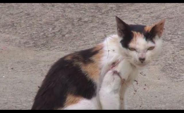原创 猫咪被渔网缠了一年之久,小猫喝奶时被祸及勒住,随时有窒息风险