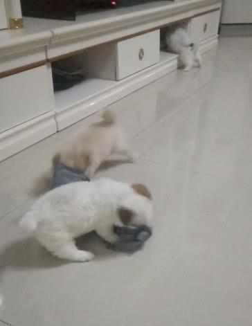超级萌的一窝小奶狗,看到主人拆了一次快递之后,它们疯了!