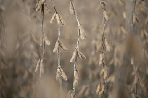 #参考消息#日媒:大豆价格快速上涨,创16个月来新高——