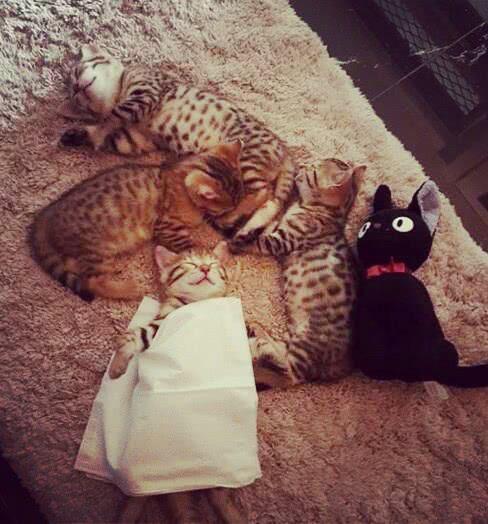 小奶猫在地毯上睡着了,主人贴心的给它盖上了纸巾,瞬间萌翻啦!