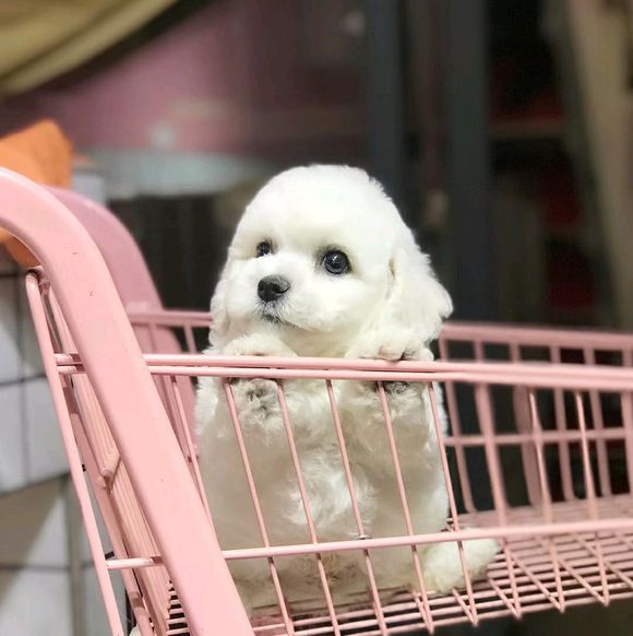 原创 比熊很害怕见陌生人,网友还带它去超市,狗:在家待着吧!