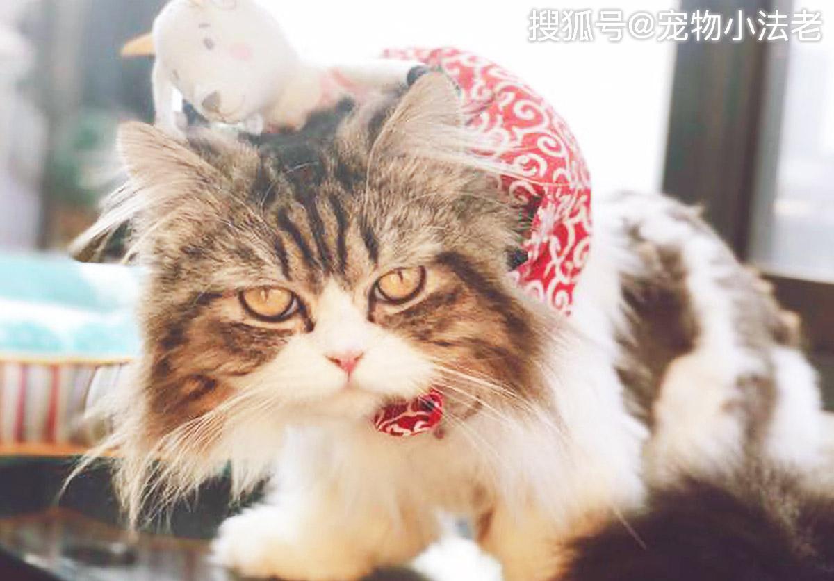 """原创 都喜欢用生姜防止猫咪""""秃头""""?你这样做,只会让猫咪越来越秃!"""