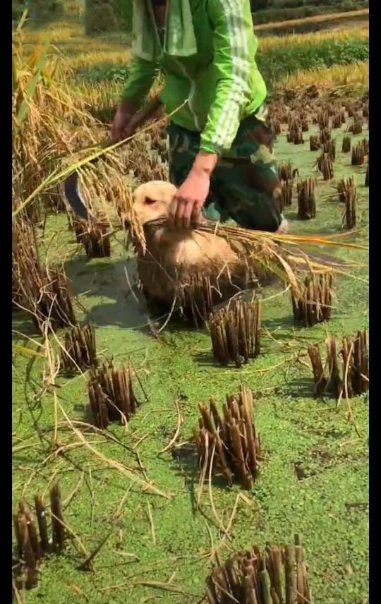 金毛被送去乡下后,还帮着父母一起干农活,这就是入乡随俗吗?