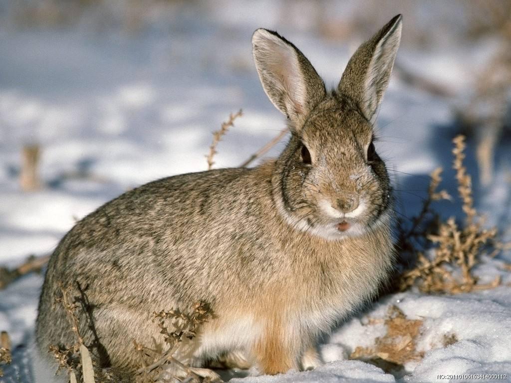 出售纯野兔.纯野生的.